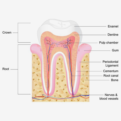 Root Canals - Stephanie A  Snelson D D S